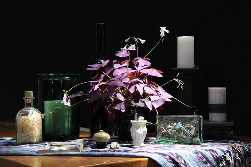 Misc. Photography of Oxalis Still Life
