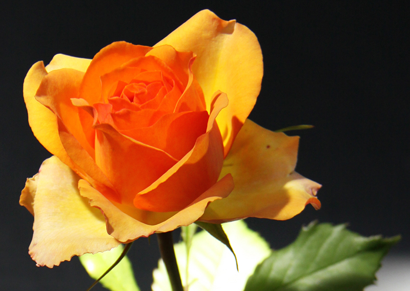 Misc. Photography of a Rose